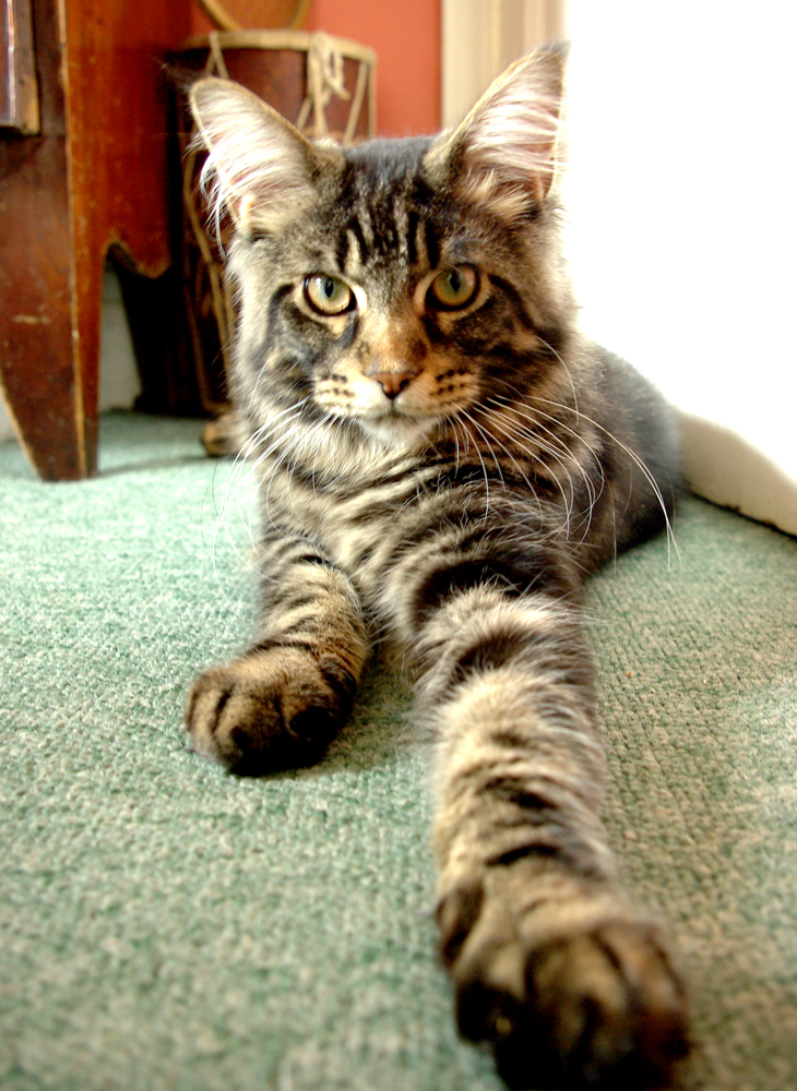 Claude the maine coon tabby kitten